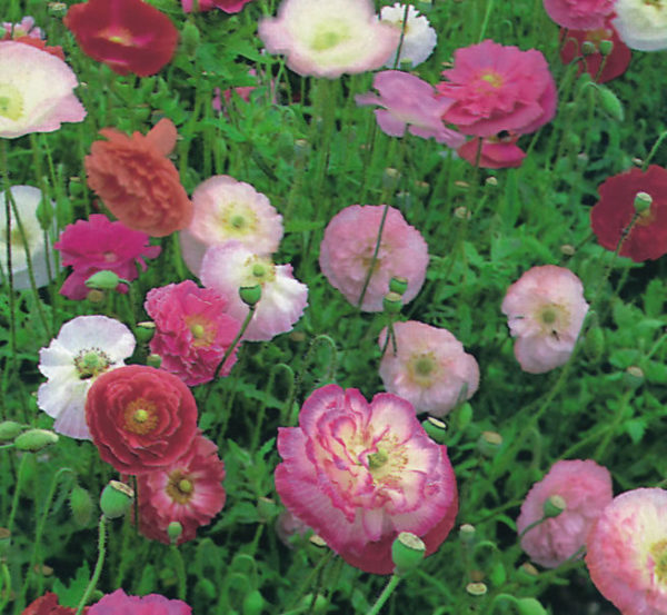 Papaver Double Shirley new