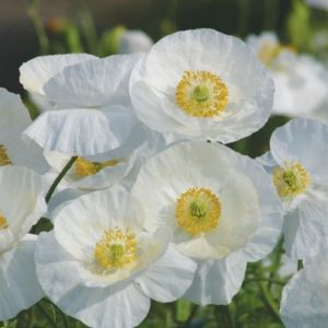Corn Poppy Papaver Rhoeas White Bridal Silk new