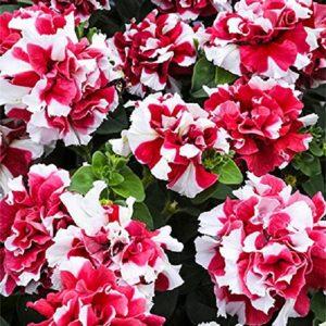 Petunia Grandiflora F1 Duo Red/White