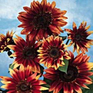 Sunflower Indian Blanket new