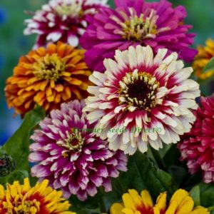 Zinnia Whirlygig Mix new