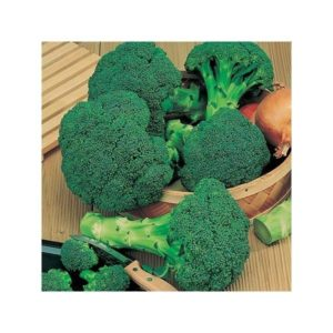 Broccoli Calabrese Green Sprouting organic new