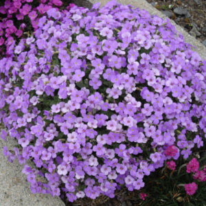 Aubretia Gracillis Rock Cress Royal Blue new