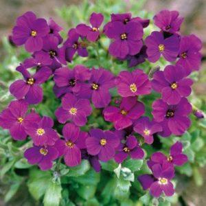 Aubretia Gracillis Rock Cress Royal Violet new