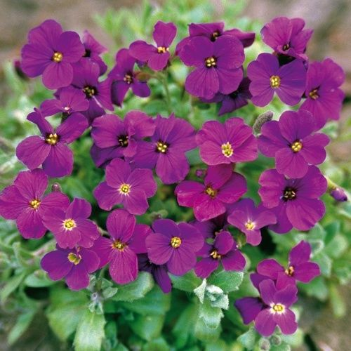 Aubretia Gracillis Rock Cress Royal Violet new
