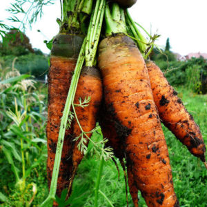 Carrot Autumn King 2 (Organic) new