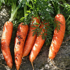 Carrot Berlicum organic new