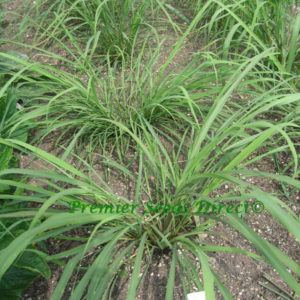 Herb Lemon Grass East Indian