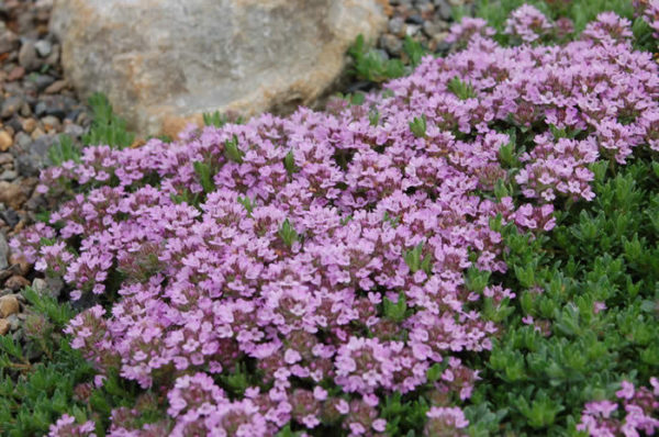 Thyme Purple Creeping new