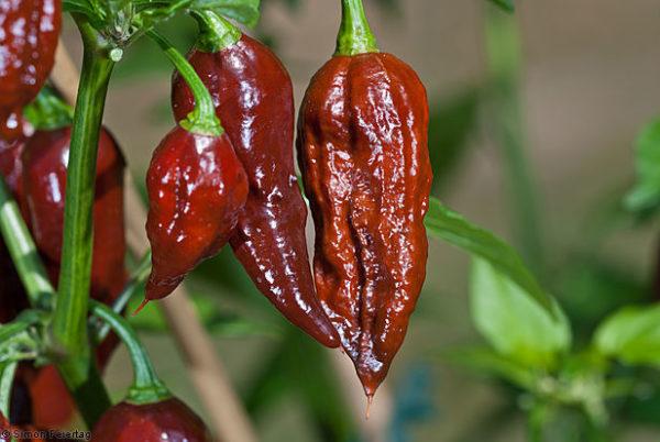 Hot Chilli Pepper Bhut Jolokia Chocolate new