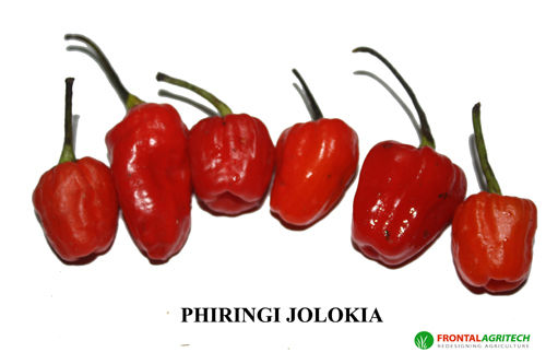 Hot Chilli Pepper Phiringi Jolokia new