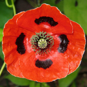 Papaver Commutatum Poppy Ladybird new