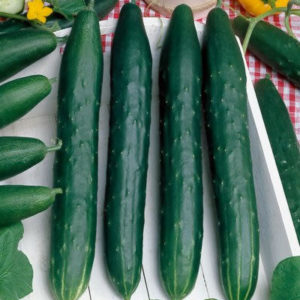 Cucumber Early Spring Burpless organic new