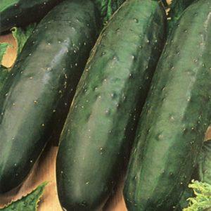 Cucumber Marketmore Organic new