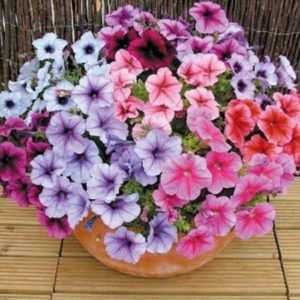 Petunia Superbissima Mixed new
