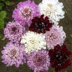 Flower Pincushion Flower Imperial Mix