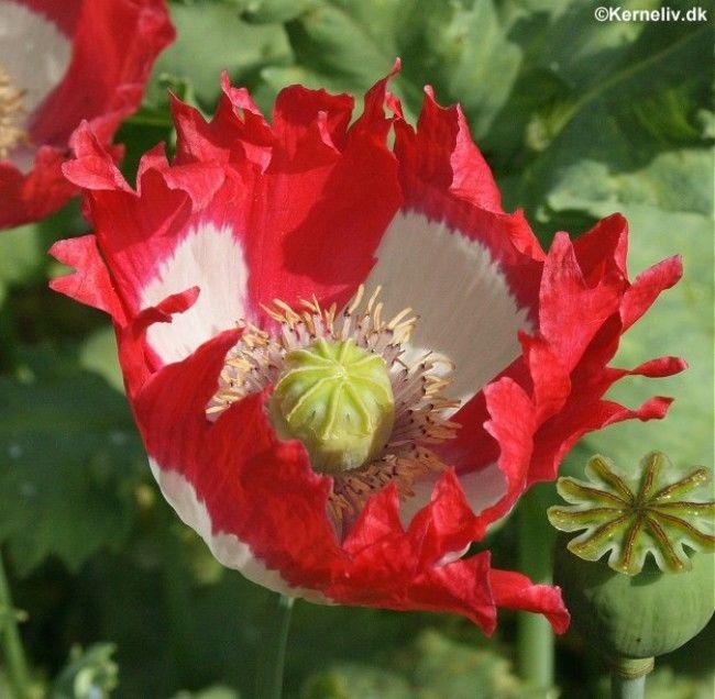 Papaver Poppy Danish Flag Seeds Heart-Stopper!Fringed Petals/&Pure White Cross