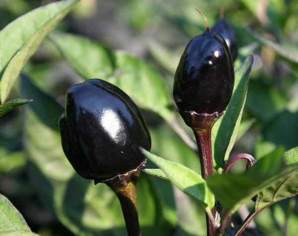 Hot Chilli Pepper Black Olive Organic new