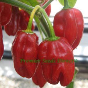 Hot Chilli Pepper Habanero Red Organic new