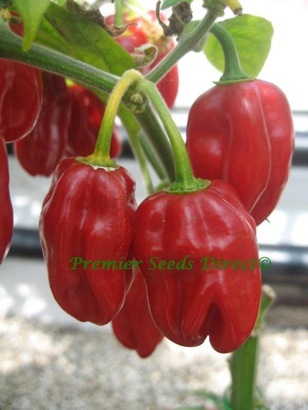 Hot Chilli Pepper Habanero Red Organic new