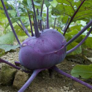 Kohlrabi Delicacy Purple