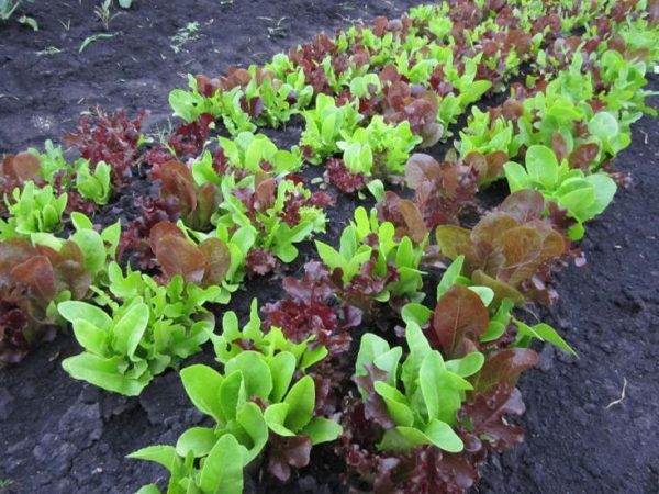 Lettuce Gourmet Looseleaf Cutting Mix Organic