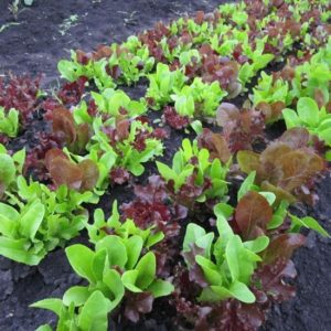 Lettuce Gourmet Looseleaf Cutting Mix new