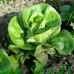 Lettuce Little Gem Organic