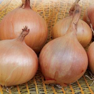 Onion Sturon organic