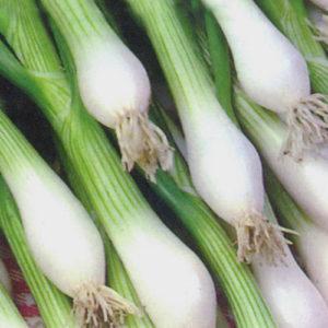 Onion Bunching White Lisbon Winter Hardy