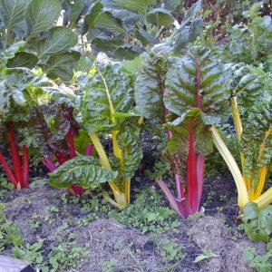 Swiss Chard Rainbow Mix Organic