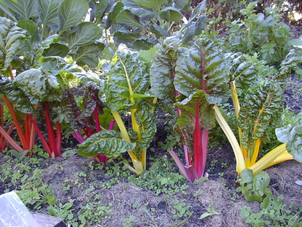 Swiss Chard Rainbow Mix Organic