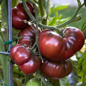 Tomato Black Krim Organic new