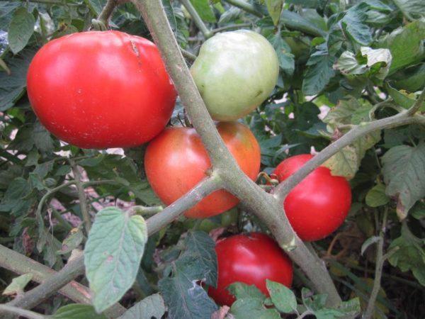 Tomato Moneymaker Organic new
