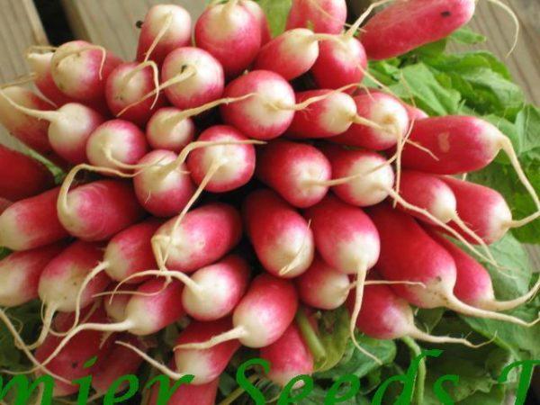 Radish French Breakfast 2 organic