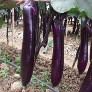 Aubergine Long Purple organic