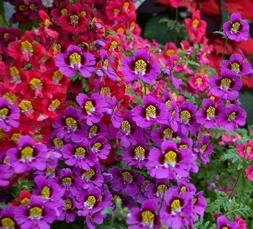 Schizanthus Angel Wings Mix NEW