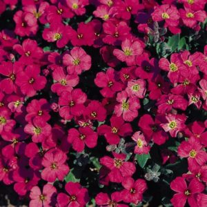 Aubretia Gracillis Rock Cress Royal Red