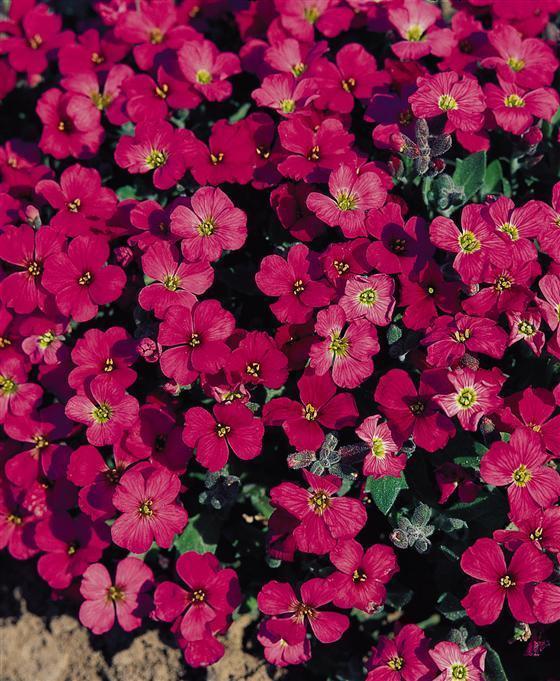 Aubretia Gracillis Rock Cress Royal Red