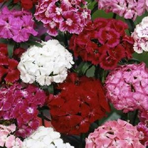Sweet William Double Mix NEW