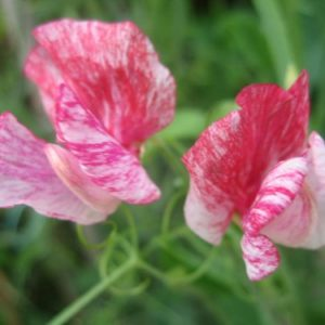 Sweet Pea Heirloom America new