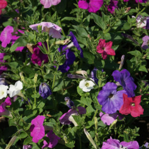 Petunia Multiflora F1 Crown Mix New