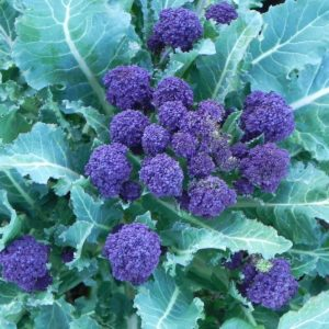 BROCCOLI - SUMMER PURPLE SPROUTINGnew