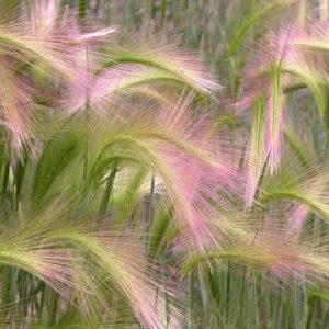 ORNAMENTAL GRASS - HORDEUM JUBATUM()