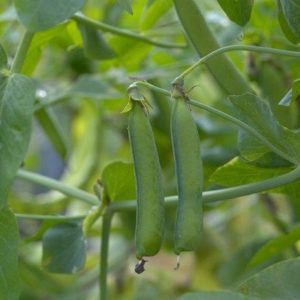 Pea Rondo Organic