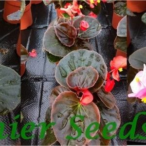 Begonia Semperflorens Devil Mixed new