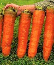 Carrot Autumn King 2 new