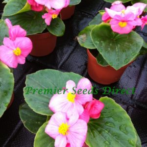 Begonia Semperflorens Heaven Rose F1