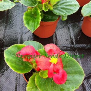 Begonia Semperflorens Heaven Red F1