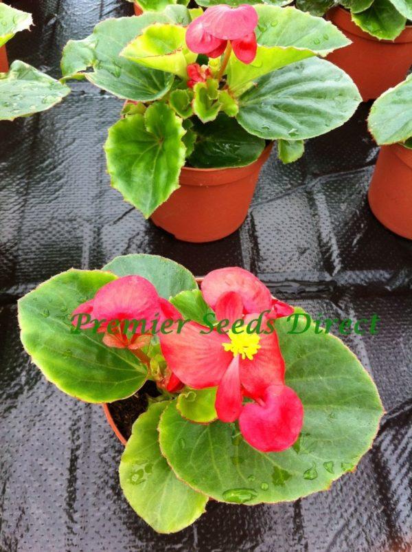 Begonia Semperflorens Heaven Red F1